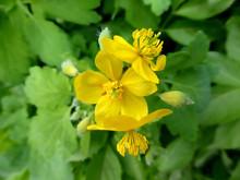 Celandine, Chelidonium Majus, Medicinal Herb