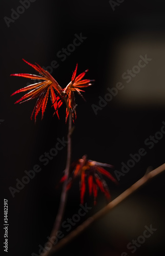 Photo Red leafs of a young Japanese Acer