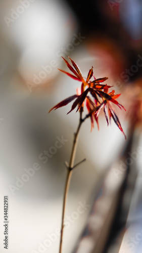 Red leafs of a young Japanese Acer Canvas Print