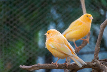 Two Small Domestic Canaries, Horizontal