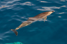 Atlantic Spotted Dolphins, La ...