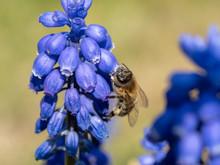Bee On A Muscari Armeniacum
