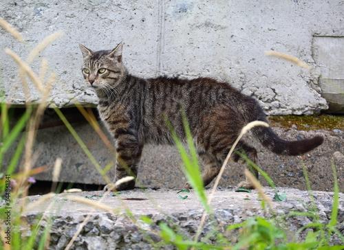 Vászonkép Grey wildcat on an old concrete slab