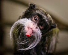 Close-up Portrait Of Emperor Tamarin Monkey Sticking Out Tongue