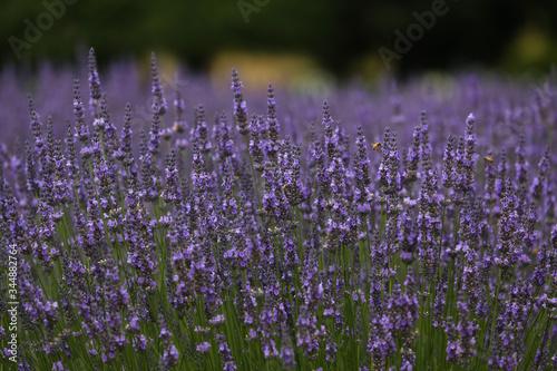 Fototapeta lavendelfeld obraz na płótnie