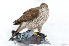 Close-up Bird Of Prey Eurasian...
