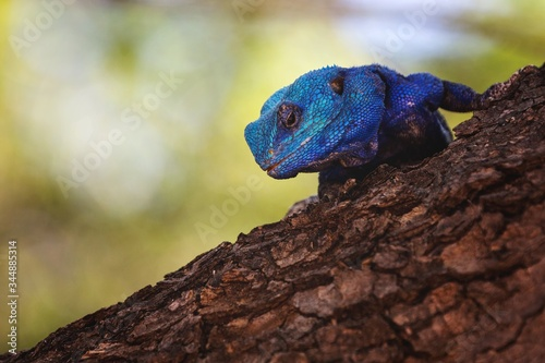 Selective focus shot of a blue agama on the trunk of an old tree with a blurry b Wallpaper Mural