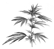 Cannabis Plant And Leaves For Medicinally Use / Antique Illustration From Brockhaus Konversations - Lexikon 1908
