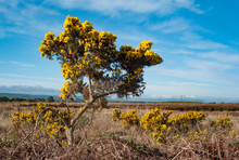 Gorse Bushes Growing In A Rura...