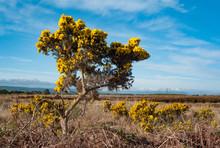 Gorse Bushes Growing In A Rural Ireland Peat Bog Landscape