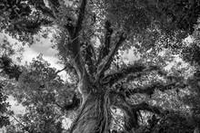 Treetop Of A Giant Kapok Tree ...