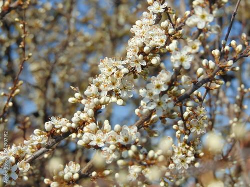 Fotografie, Tablou blooming sloe brush