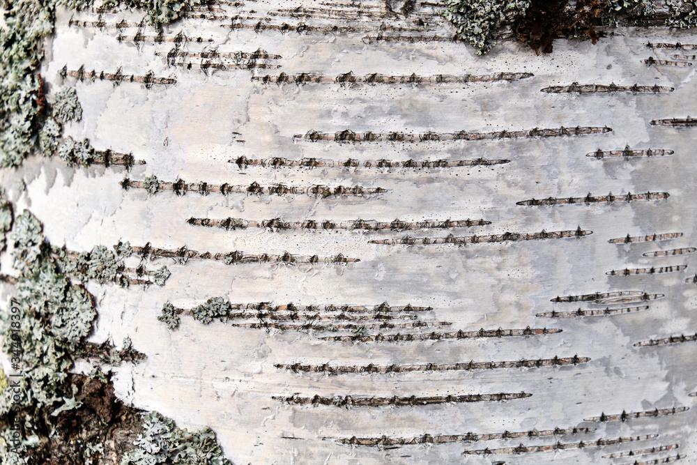 Birch bark texture natural background paper close-up. Birch tree wood texture. Pattern of birch bark.