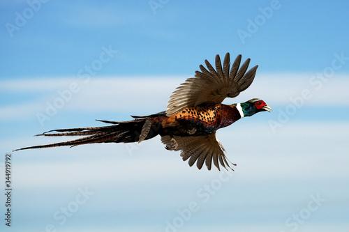 Fotografía Ringed-neck Pheasant Rooster - Flight