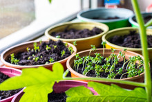 Sprouted Seeds Of New Plants I...
