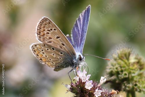 Photo Un petit papillon bleuté nommé Argus Bleu que l'on trouve dans les champs l'été