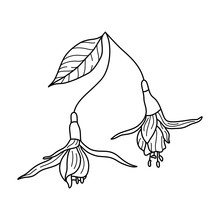Fuchsia Flower Line Drawing. Outline Botanical Tropical Plant In A Modern Minimalist Style. Vector Illustration.