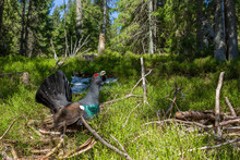 Tetrao Urogallus In Wild Nature In Spruce Forest, Western Capercaillie