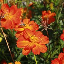 Zinnia Haageana 'Orange Star'