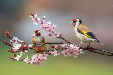 Panel Szklany Do sypialni Goldfinch, Carduelis carduelis, two birds in bloom