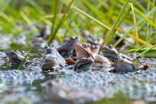 European Common Brown Frog, Or...