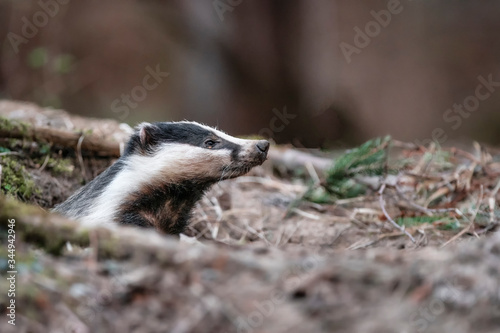 Badger, wild, native, Eurasian badger, scientific name: Meles Meles, emerging from the badger sett with muddy nose covered in earth Canvas Print
