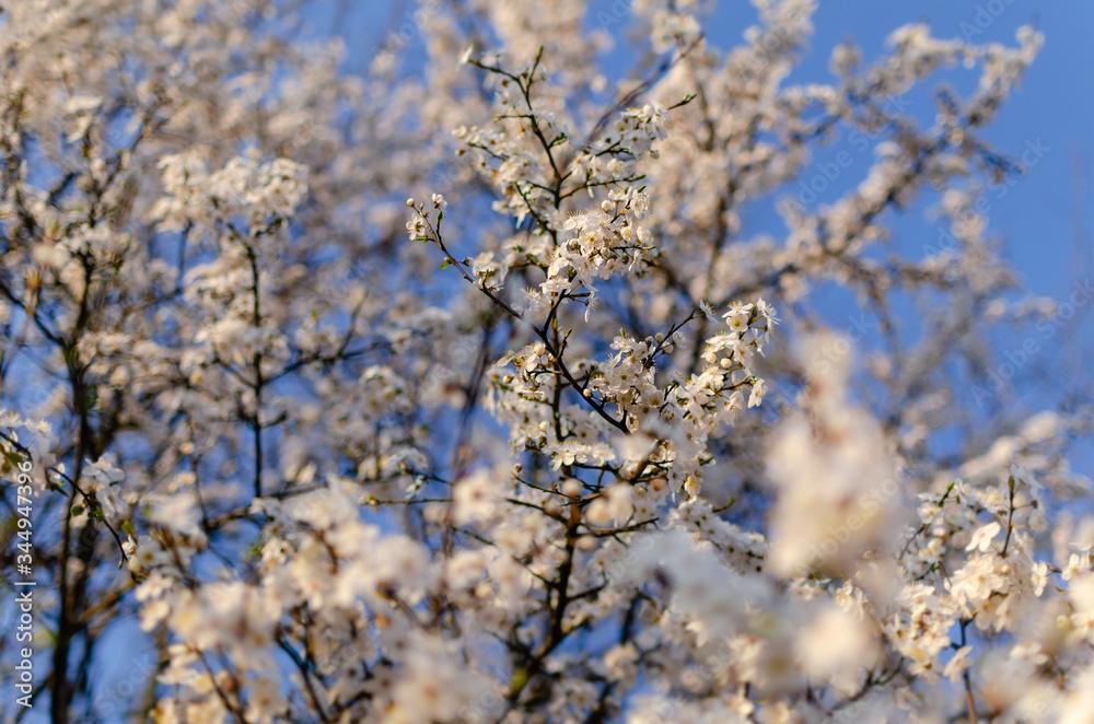 Fototapeta Pąki kwiatów kwitnące na drzewach,