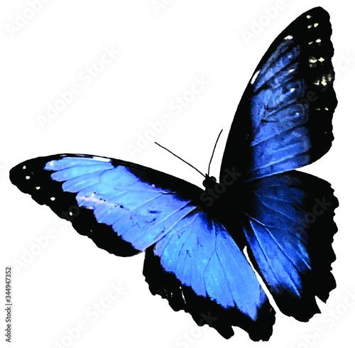 blue morpho (Morpho peleides) butterfly isolated on white background Canvas Print