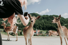 Woman Taking Picture Of Deer W...