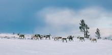 Wild Reindeer In Lapland