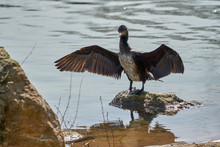 Young Cormorant Standing In A River