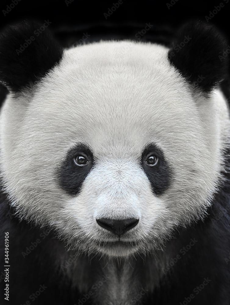 Fototapeta Portrait of a giant panda bear isolated on black background