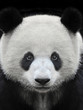 Portrait of a giant panda bear isolated on black background