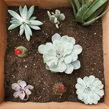 A Box Of Just Planted Succulents