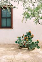 Blooming Prickly Pear Cactus In Yard