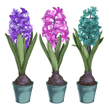 Colored Set Of Vector Illustration Hyacinths In Pots. Isolated On White Background.