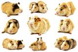 Fototapeta Zwierzęta - świnki morskie rozetka i gładkowłosa