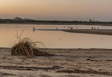 Dislodged Reeds Sits On Sandy Bank Of Estuary Shore While Geese Feed In The Ocean Water At Low Tide.