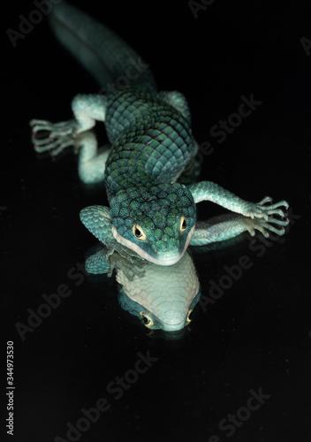 Photo Arboreal alligator lizard (Abronia graminea) and reflection