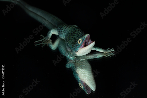 Arboreal alligator lizard (Abronia graminea) and reflection Canvas Print