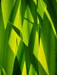 canvas print picture Reeds