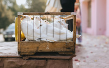 Beautiful White Thoroughbred Pigeons Sit In A Metal Cage. Trained Birds For Newlyweds. Photography, Concept.
