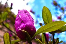 Crepe Myrtle Bloom After Morning Rain