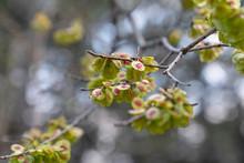 Ulmus Minor Or Elm Trees' Gree...