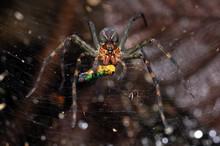 Spider (Aglaoctenus Sp.) With ...