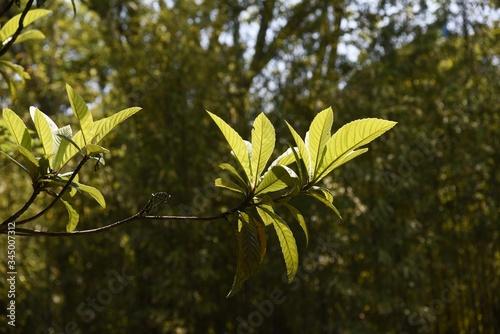 Obraz na plátně Laquat tree / Rosaceae evergreen fruit tree