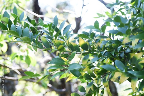 Obraz Nageia nagi (Podocarpus nagi) tree / Podocarpaceae evergreen coniferous tree - fototapety do salonu