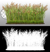 Cut Out Plant. Reed Grass. Cattail And Reed Plant Isolated On Transparent Background Via An Alpha Channel. Cutout Distaff And Bulrush. High Quality Clipping Mask .