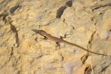 Selective Focus Shot Of Maltese Wall Lizard In Maltese Islands, Malta On A Sandy Rock On A Daylight