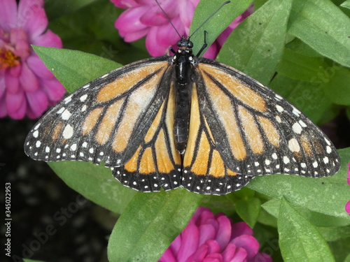 Photo monarch butterfly on purple flower